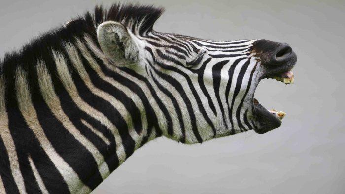 Zebra Contact
